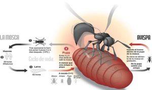 Descripción grafica de la interacción entre el ciclo biológico de la mosca y el ciclo biológico de la avispa