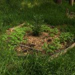 98% evitamos el crecimiento de la especie exótica invasora el pasto